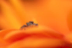 Jumping Spider - Jan Koetze