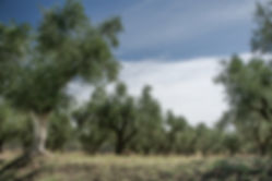 Olijfboomgaarden op Zakinthos - Marielle de Valk