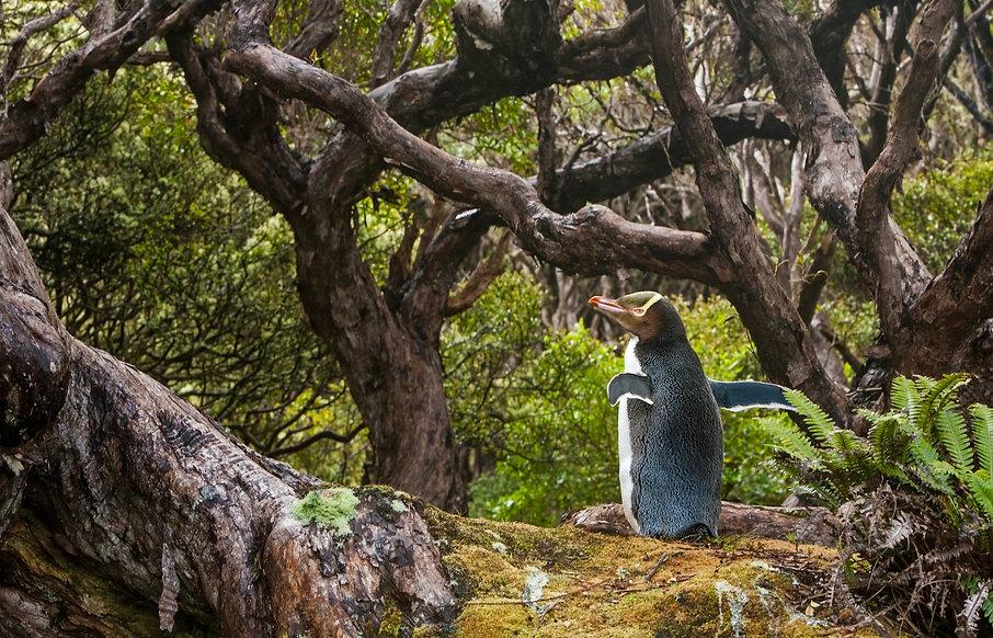 Geeloogpinguin op Enderby Island - Otto Plantema