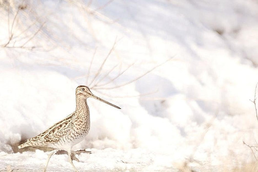 Watersnip in de sneeuw - Pauline Rote