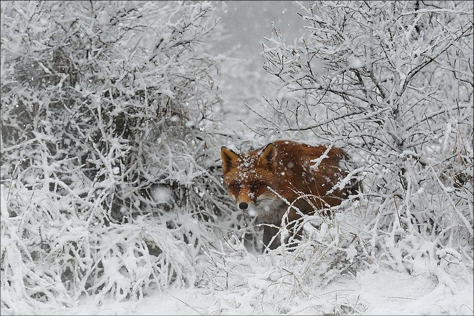 Vos, mijn manier om de winter te overleven - Jan Koetze