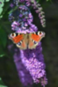 Dagpauwoog op vlinderstruik - Miranda Rens
