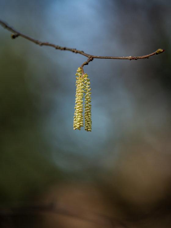 Katjes van de hazelaar - Arnhemsmeiske