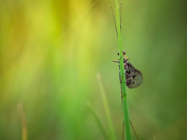 Eendagsvlieg - Arnhemsmeiske verwondert ...