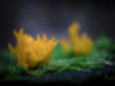 Het felgele kleverig koraalzwammetje - Janneke van der Pol