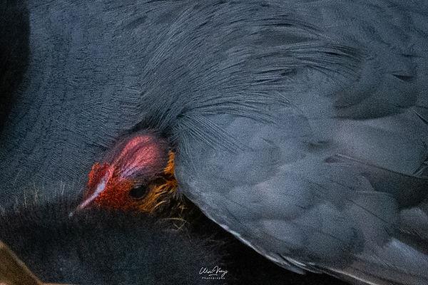 Onder moeders vleugels - Wim Vooijs