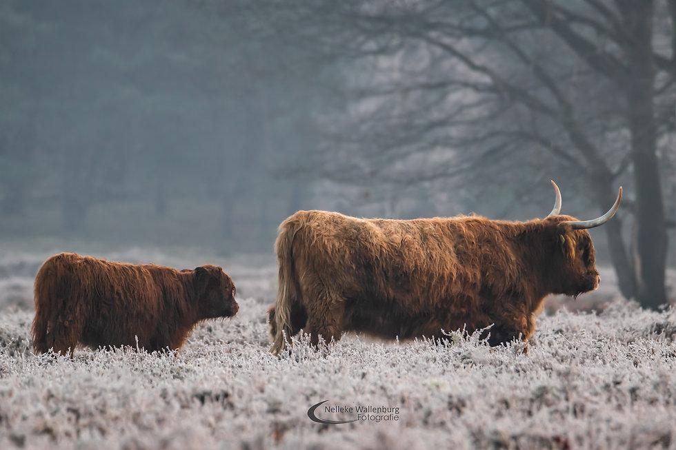 Schotse Hooglanders - Nelleke Wallenburg