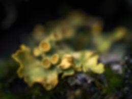 Korstmos (4) - Arnhemsmeiske verwondert ...