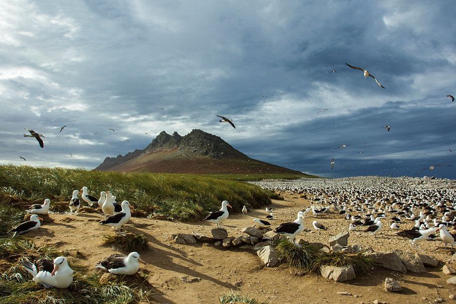 albatros kolonie - Otto Plantema