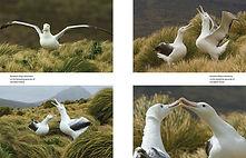 Around the world for albatrosses - Otto Plantema