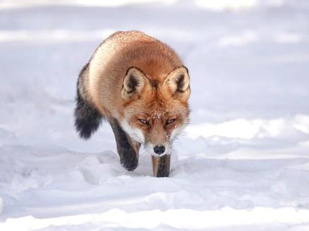 Vos in de sneeuw - Marleen van Eijk
