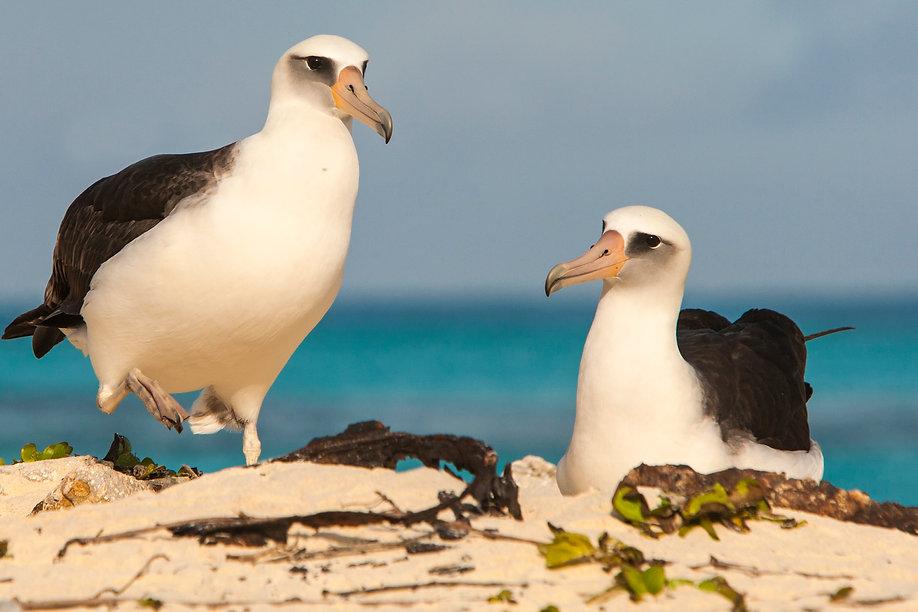 Laysan Albatros op Midway Atoll - Otto Plantema