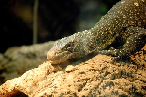 iguana-lizard-monitor-lizard-46310.jpg