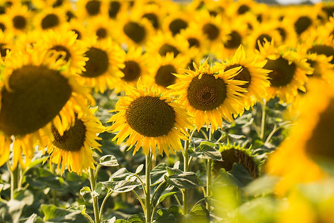 field-of-sunflowers-composition-of-natur