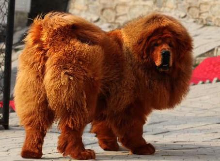 10 records du monde détenus par les chiens