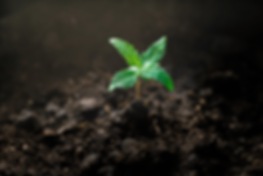 cannabis-seedling.png