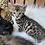 Thumbnail: Bengal Kittens