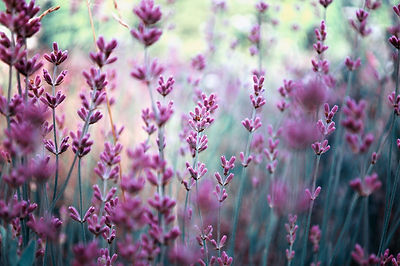 Beautiful detail of scented lavender flo