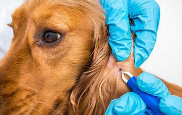 veterinary_golden_getting_tick_removed_b