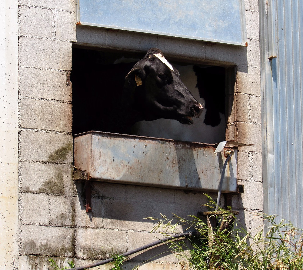 Корова в коровнике
