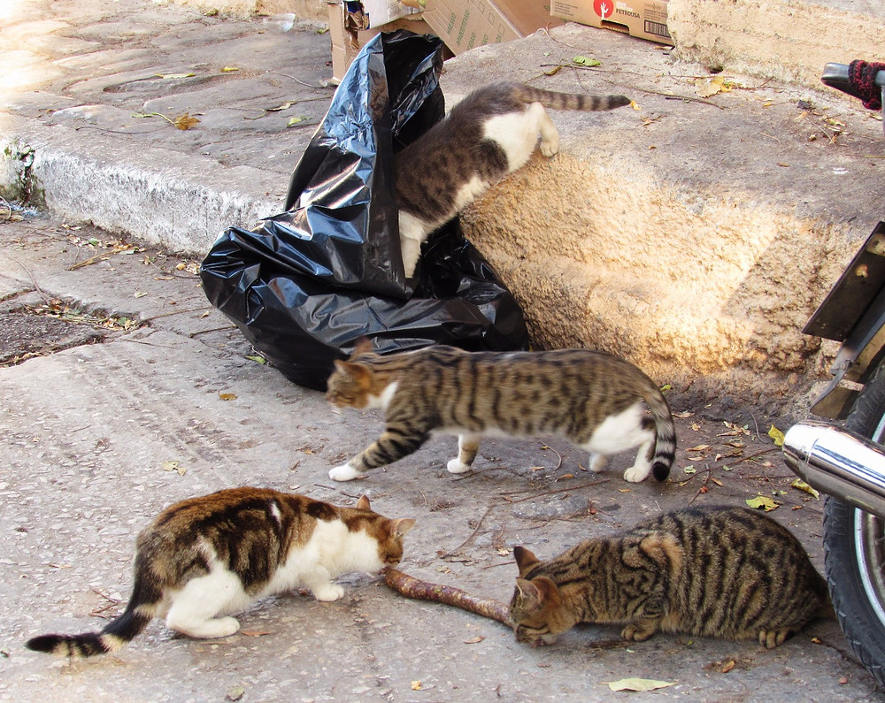 Котики едят сосиску