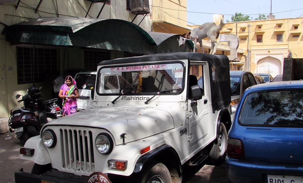 Индийская коза на крыше машины