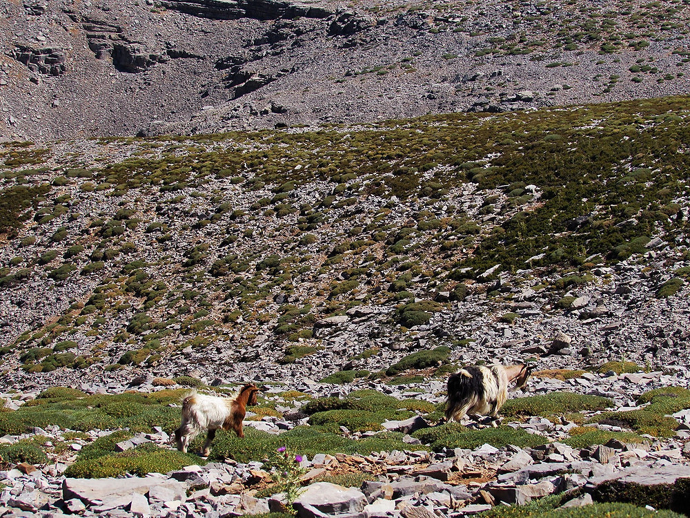 Домашние козы, пасущиеся на склонах Псилоритиса