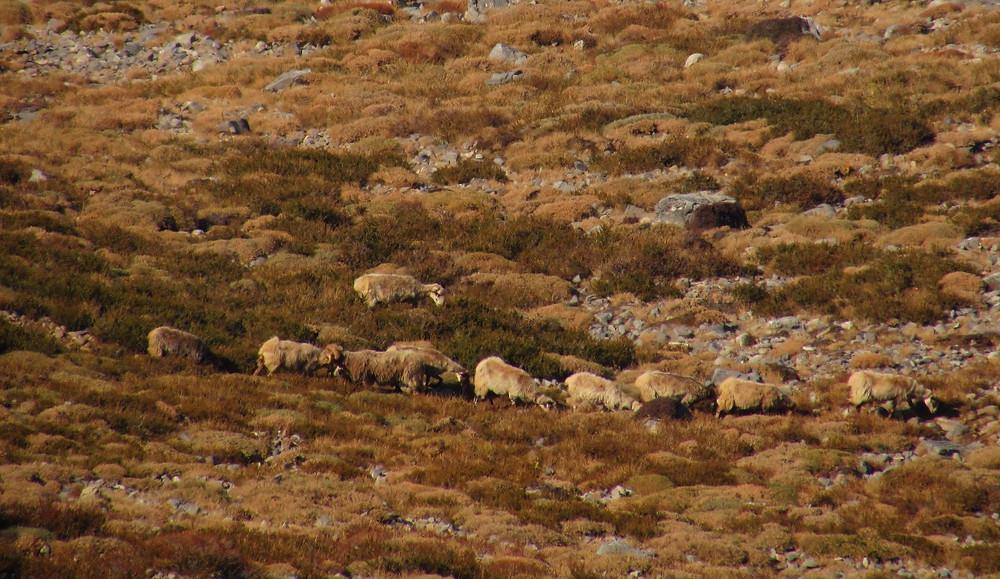 Овцы выстроились друг за другом и идут домой