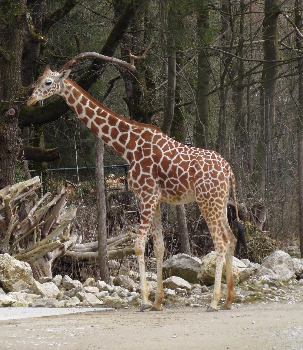 А вот и жираф