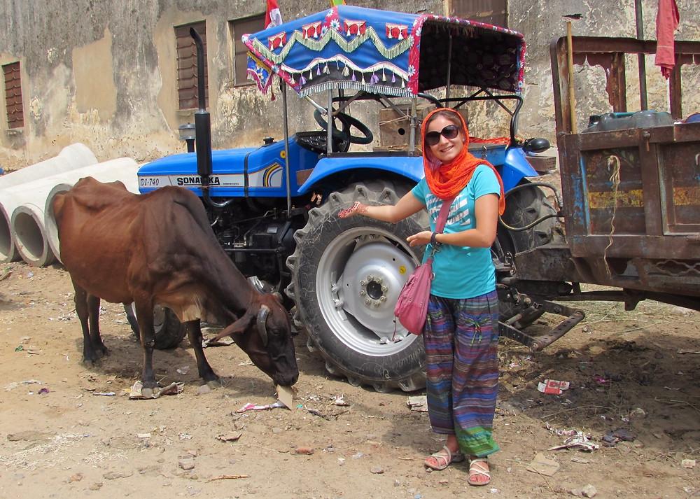 Индийская корова ест мусор
