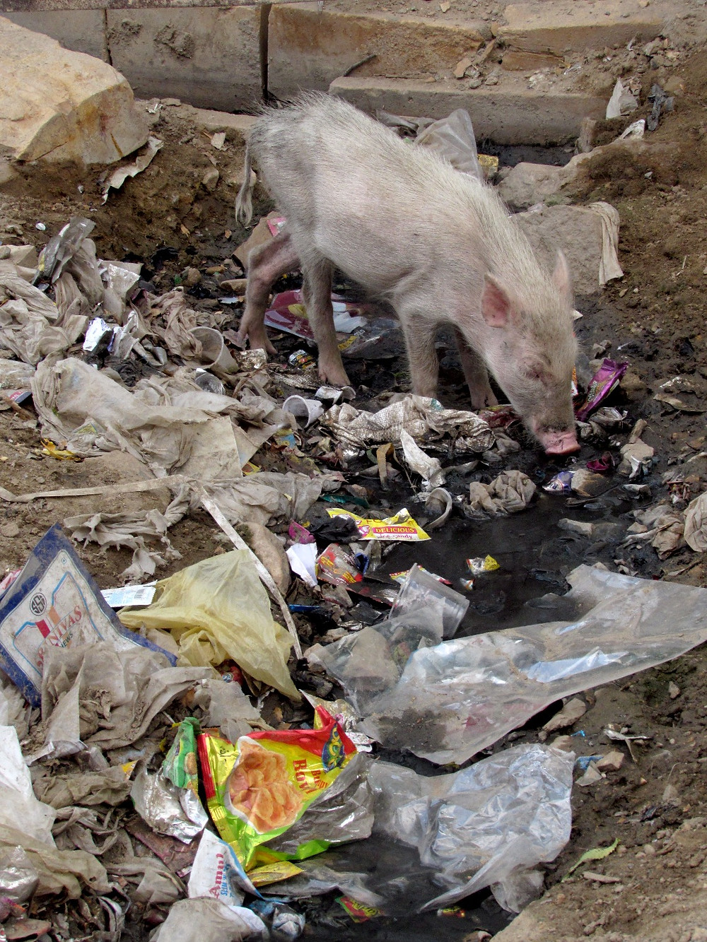 Свинья и мусор
