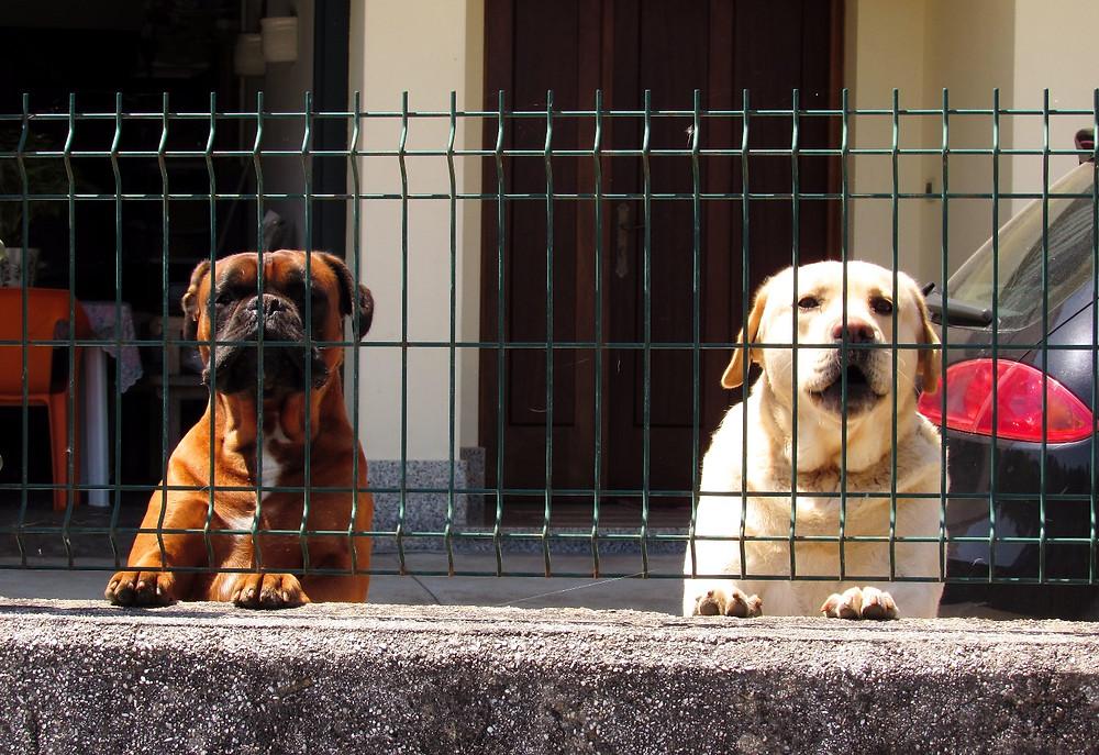 Собаки за забором
