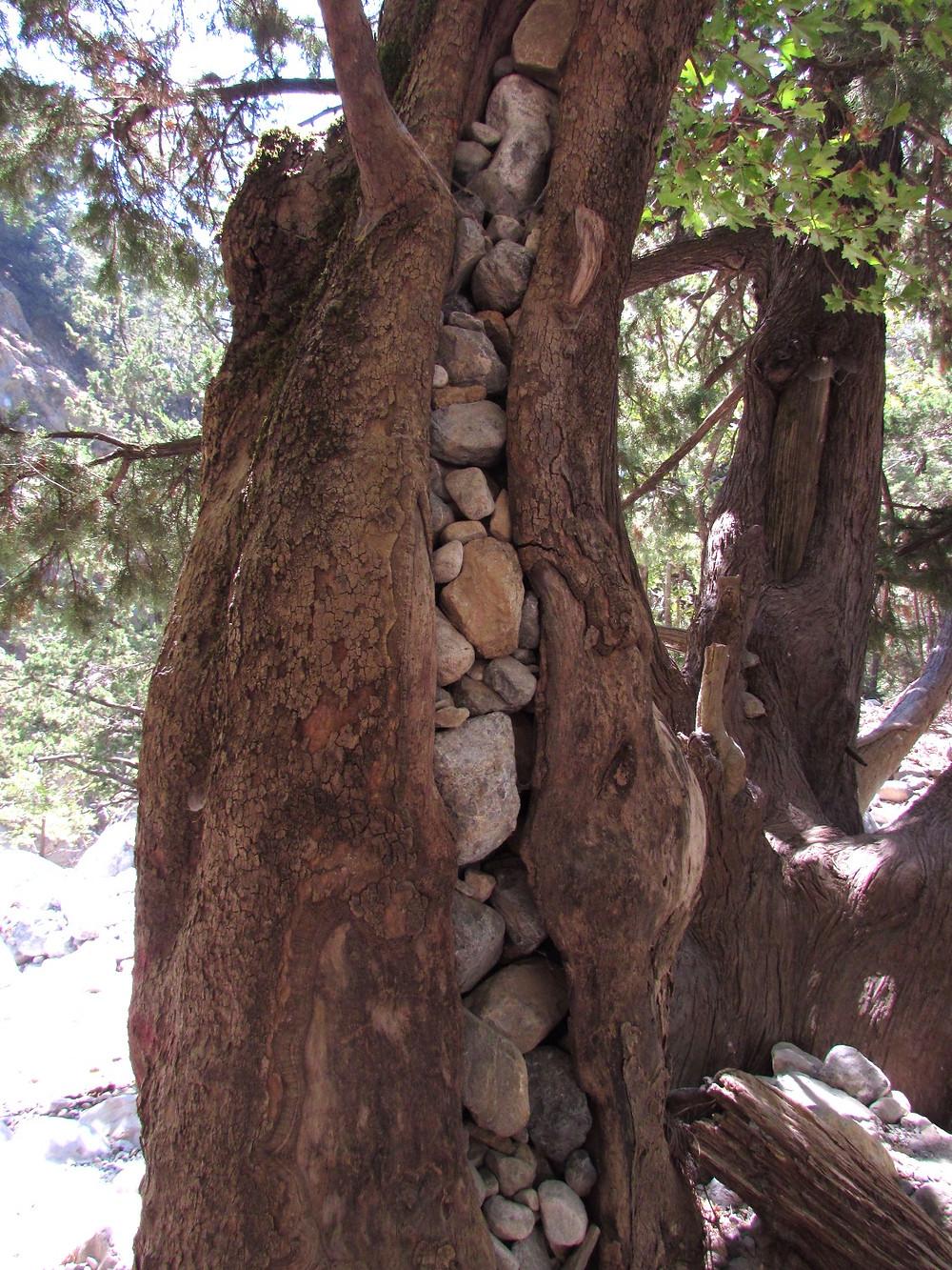 Камни в стволе дерева