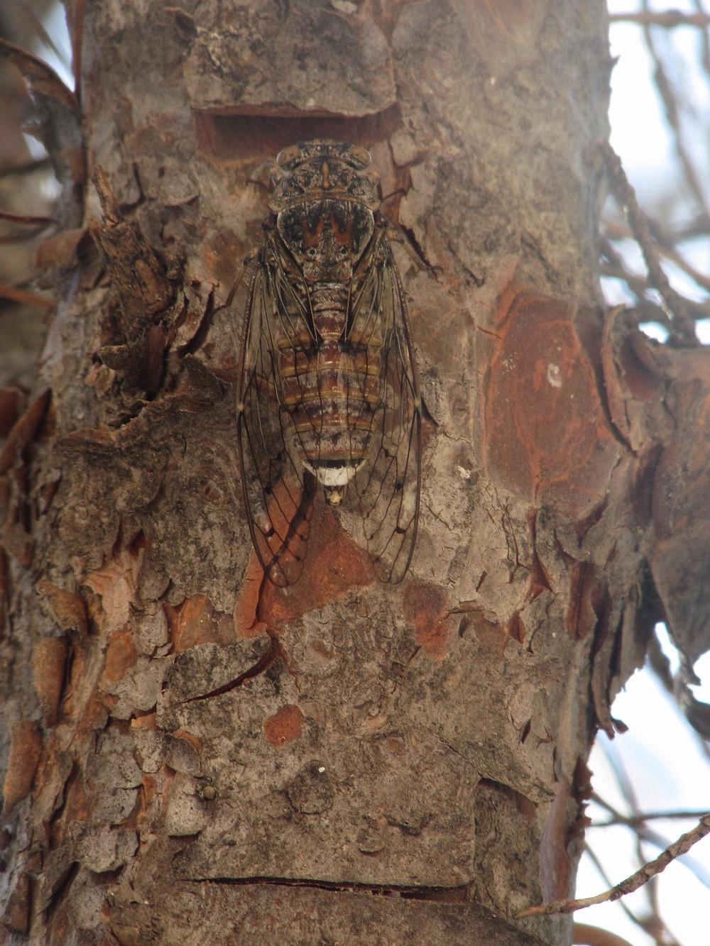 Где-то тут есть цикада