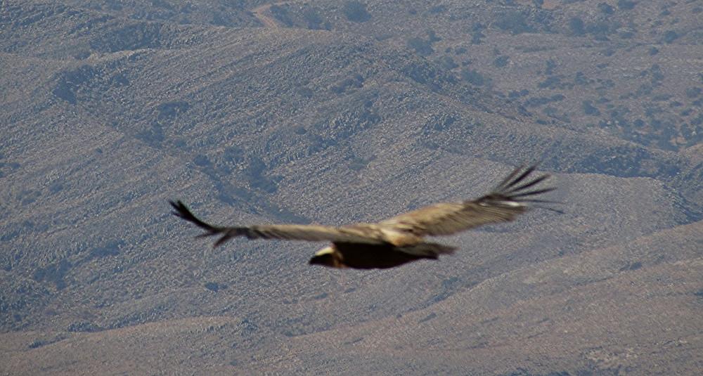 Орел скара