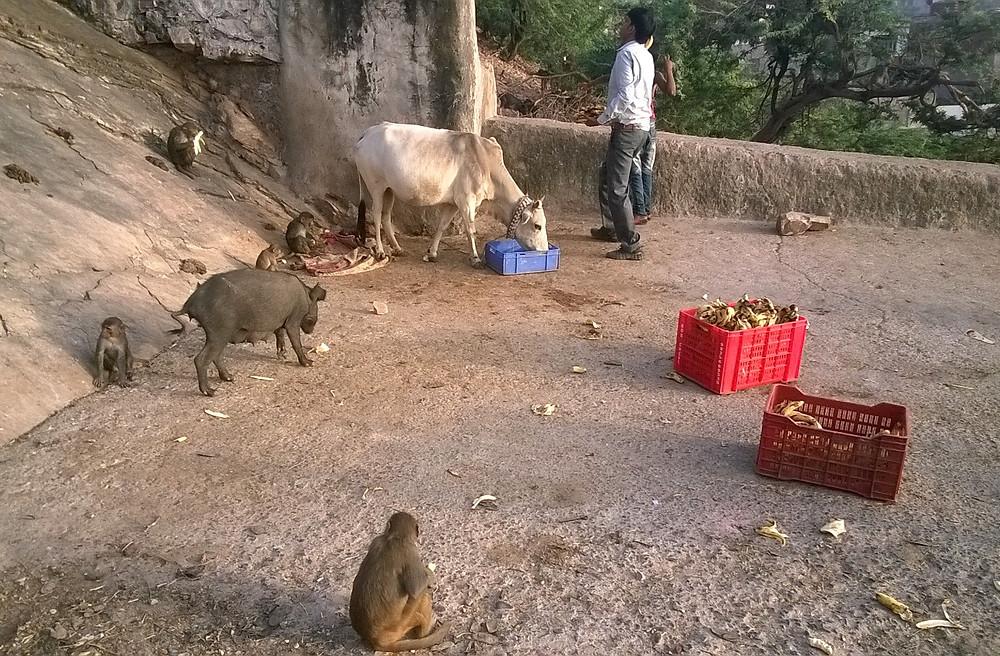 Подношение обезьянам
