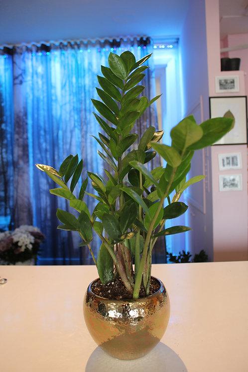 """Zamioculcas zamiifolia 5"""""""