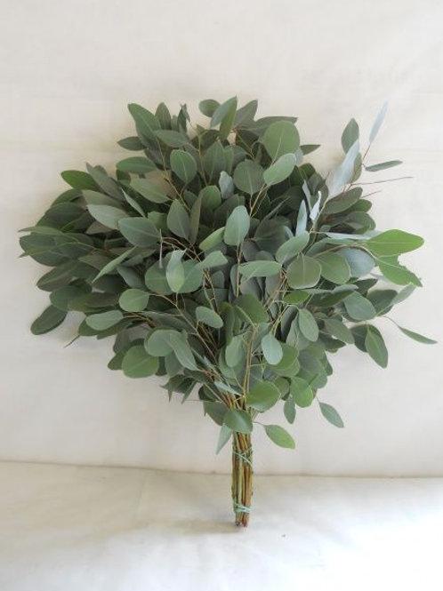 Eucalyptus populus silver
