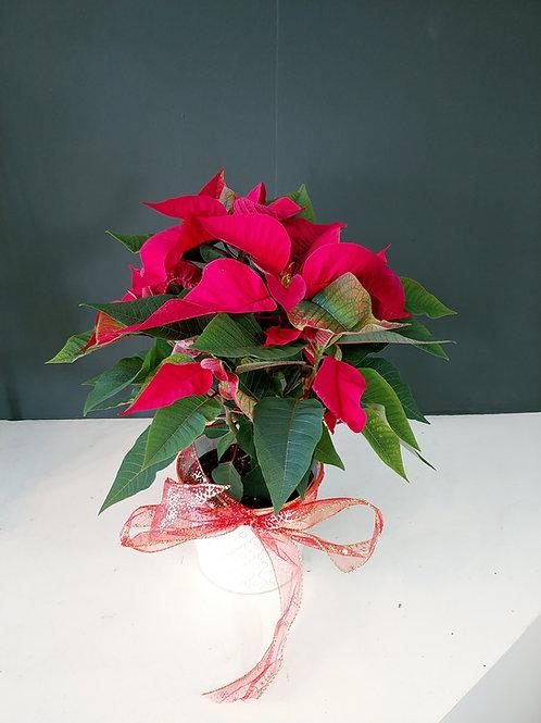 "Poinsettia  6"" avec cache-pot"