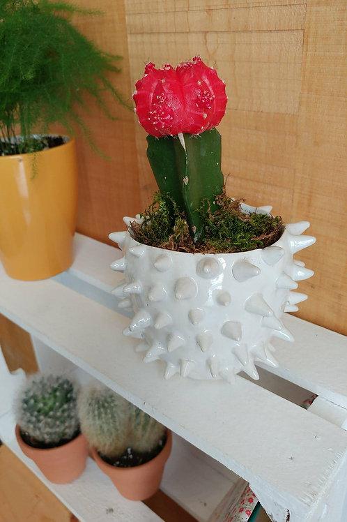 Cactus Oursin
