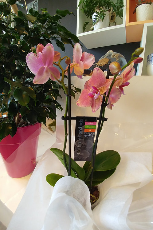 plan de phalaenopsis