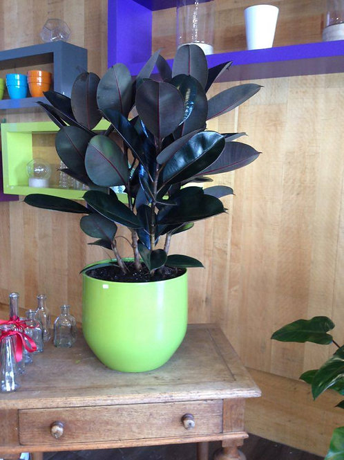 Ficus Decora en pot
