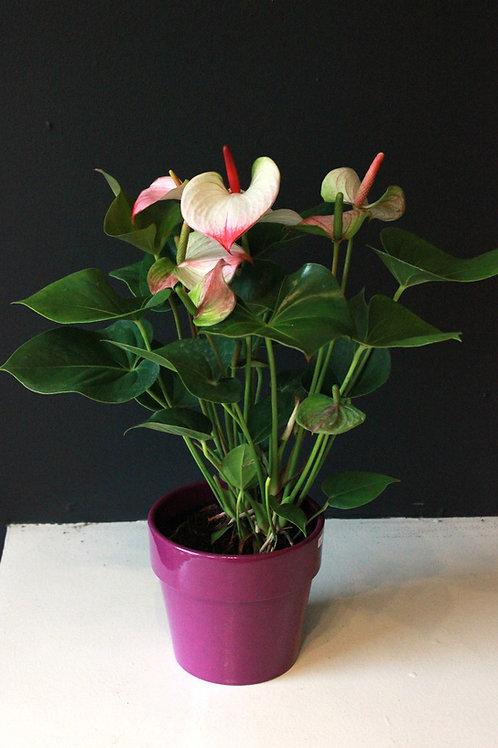 Anthurium dans cache-pot de céramique