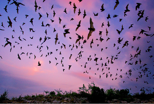 Bats leaving the roost