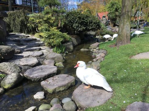 Ornamental Duck