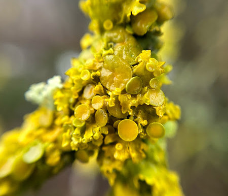 A blaze of colour in winter : Lichens