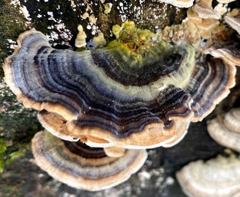 Turkeytail – Multi-Coloured Fungi
