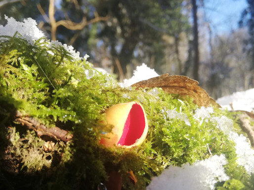 Scarlet Elf Cup - Sarcoscypha Austriaca