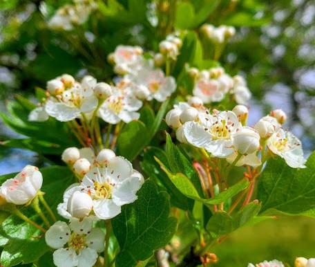 The May-tree Hawthorn