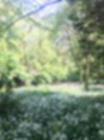 Linn Park Wild Garlic White Cart River runs through scene